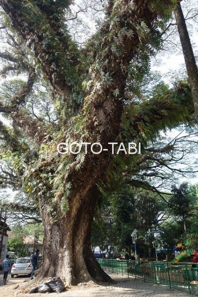 コーチンの大木