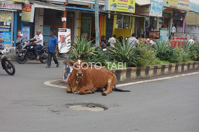交差点にも牛
