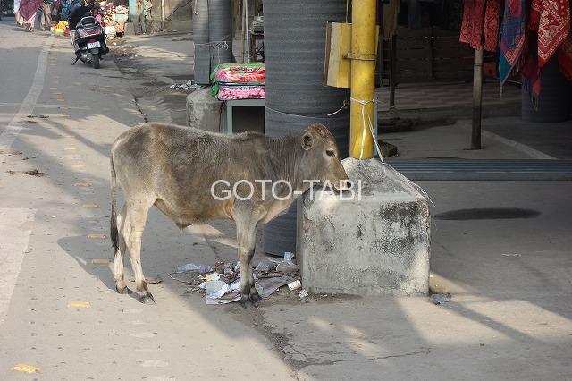 シリグリの牛
