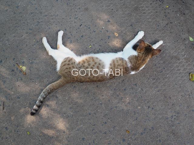 コーチンの猫